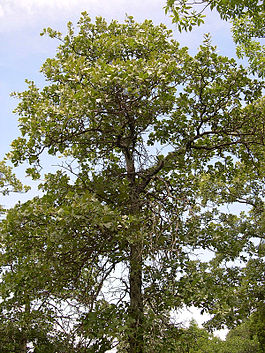 Quercus marilandica Shawnee National Forest 1.jpg