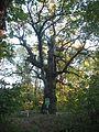 Quercus robur Моринці.jpg