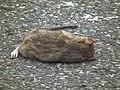 Rückenpartie einer überfahrenen Ratte.JPG