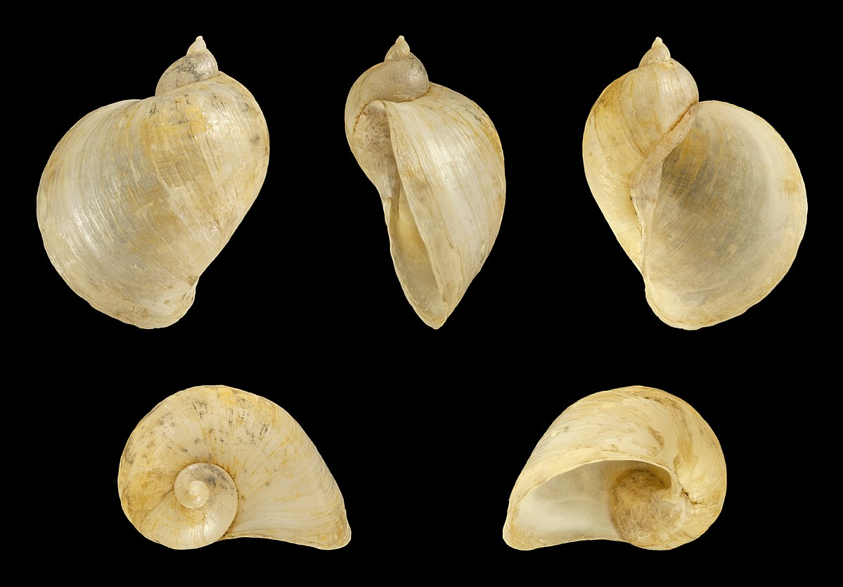 Gastropoda Lymnaeidae