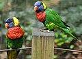 Rainbow Lorikeet Trichoglossus haematodus Perched 2424px.jpg