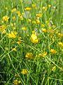 Ranunculus acris acris-Salzburg, Flachgau, Henndorf-bE-HdN-1649b.jpg