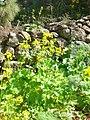 Ranunculus cortusifolius whole.jpg