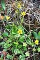 Ranunculus lapponicus IMG 4097 lappsoleie longyearbyen.JPG