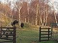 Rare Breed Shetland Cattle - geograph.org.uk - 684315.jpg