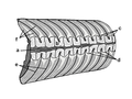 Rayonnoceras section.PNG