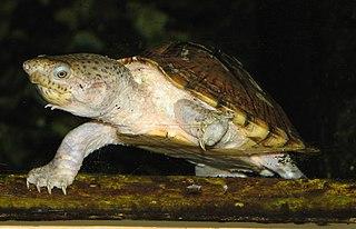 Razor-backed musk turtle species of reptile