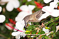 Red-Wattle-Bird-Feeding.jpg