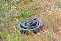 Red-bellied black snake (coiled).jpg