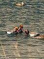 Red-crested Pochard (Netta rufina) (28330700639).jpg