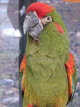 Red-fronted Macaw Ara rubrogenys National Aviary 2112px.jpg