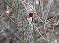 Red-headed woodpecker (15951411880).jpg