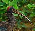 Red-naped Ibis.jpg
