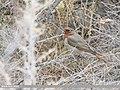 Red-throated Thrush (Turdus ruficollis) (50635113517).jpg