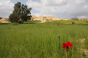 HaBesor Stream - Red Anemone coronaria near HaBesor Stream. Typical for the region, Loess Badlands, can be seen at the background.