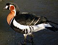 Red Breasted Goose (2181934550).jpg