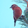 Red Crossbill (5360856650).jpg