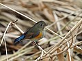 Red Flanked Bluetail Female ルリビタキ (198962673).jpeg