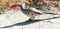 Red Hornbill eating insect.jpg