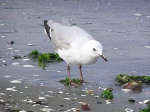 Juvenile Red billed gull, Petone, Wellington, ...