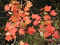 Red moose maple 2 (6153145625).jpg