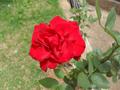 Red rose from a church in Brasília, Brazil.png