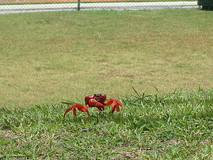 Christmas Island National Park - Gecarcoidea natalis, the Christmas Island red crab