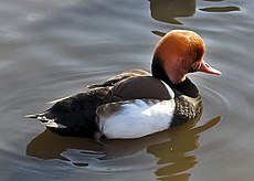 Redcrested.pochard.arp.750pix.jpg