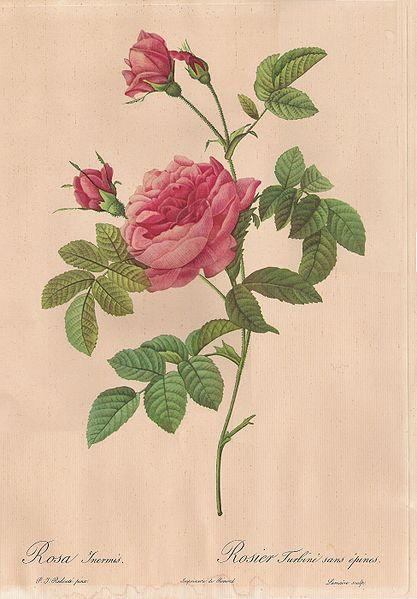 rosier de bordure