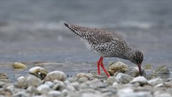File:Redshank.webm