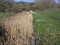 Reed filled ditch, Little Durnford Manor - geograph.org.uk - 692324.jpg