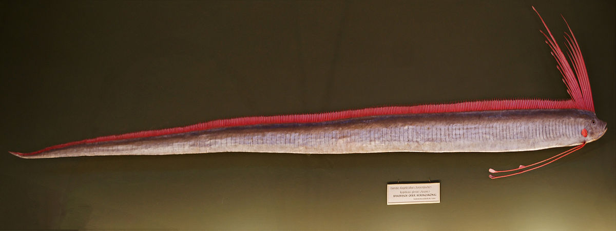Giant oarfish - Wikipedia Oarfish Skeleton