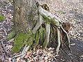 Regeneration from coppice alnus gluinosa 2 beentree.jpg