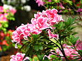 Rhododendron 'Inga' 02.JPG
