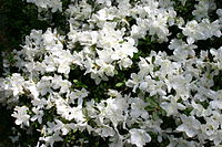 Rhododendron Delaware Valley White 5801.JPG