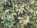 Rhododendron ferrugineum Viote 02.jpg