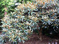 Rhododendron fulvum 1