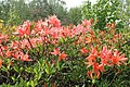 Rhododendron molle kz01.jpg