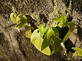 Rhynchoglossum obliquum Blume (8067740709).jpg