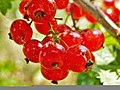 Ribes rubrum, Armenia (1).jpg