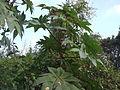 Ricinus communis-xavier cottage-yercaud-India.JPG