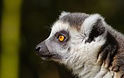 Ring-tailed lemur profile.jpg