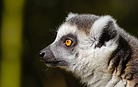 Side profile of a ring-tailed lemur showing it's protruding muzzle and wet nose