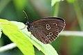 Ringlet butterfly (Aphantopus hyperantus) underside.jpg