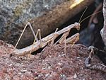Rivetina balcanica (Mantis sp.) (female), Skala Kalloni, Lesbos, Greece.jpg
