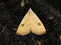 Rivula sericealis (19287759600).jpg