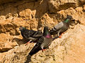 Rock pigeons on cliffs.jpg