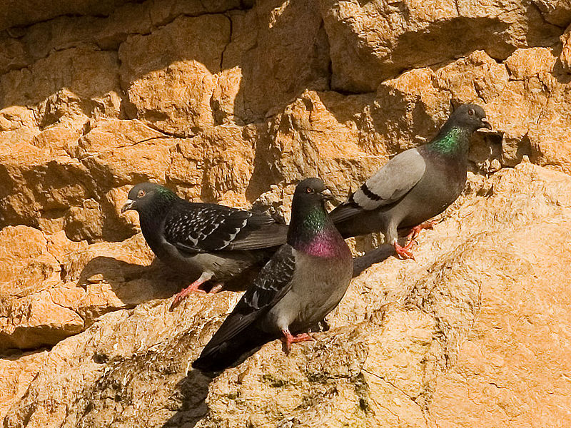 File:Rock pigeons on cliffs.jpg