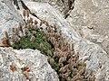 Rock spiraea, Petrophytum caespitosum subsp. caespitosum (26272071380).jpg