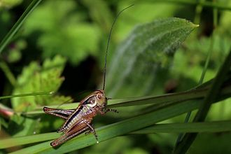 Tettigoniidae - Roesel's bush-cricket (Platycleis albopunctata) male